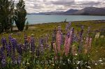 Lupin Highlights Of Lake Tekapo
