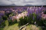 photo of Lupins Eglinton River Valley Fiordland