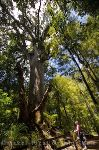 Kauri Forests Of Northland