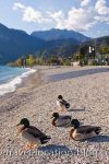 photo of Mallard Ducks Residents On The Gardasee Italy
