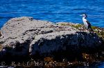 photo of Pied Shag Picture