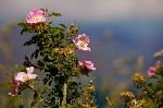photo of Sweet Briar Flowers