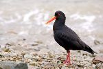 photo of Variable Oystercatcher Picture