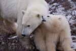 photo of Polar Bear Sow And Cub Hudson Bay Canada