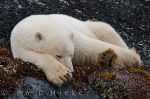 photo of Cute Sleeping Polar Bear Picture