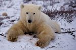 photo of Cute Polar Bear Churchill Manitoba