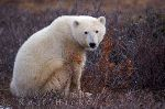 photo of Global Warming Symbol Polar Bear