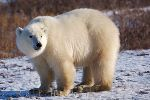 photo of Quick Polar Bear Facts