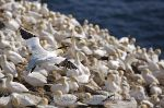 photo of Northern Gannets Cape St Marys Newfoundland