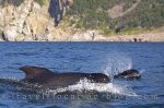 photo of Long Finned Pilot Whales Cape Breton Nova Scotia