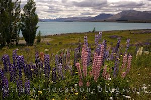 photo of Lupin Highlights Of Lake Tekapo