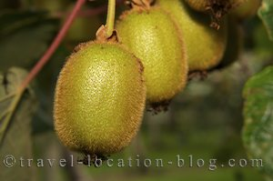 photo of New Zealand Kiwifruit Country In Te Puke