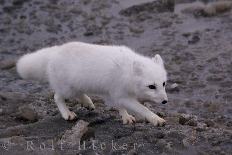 photo of Arctic Fox Picture Hudson Bay
