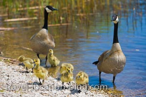 photo of Canadian Geese Point Pelee National Park Ontario