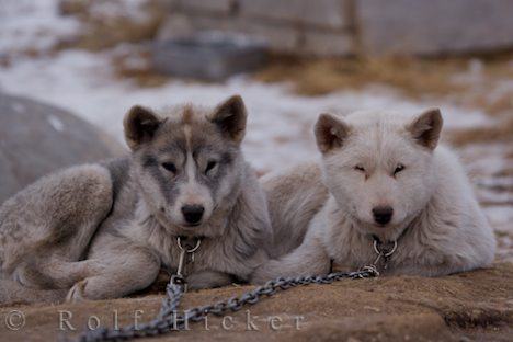 photo of Cute Puppies Churchill Manitoba