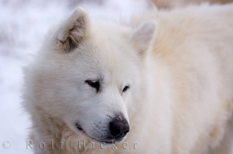photo of Canadian Eskimo Dog Hudson Bay Canada