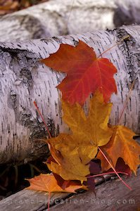 photo of Fall Leaves Algonquin Provincial Park