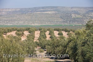 photo of Olive Groves Province Of Jaen Andalusia