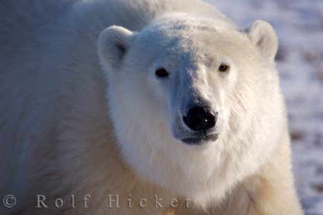 photo of Close Polar Bear Encounter Churchill