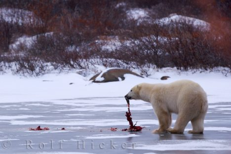 photo of Polar Bear Food Hudson Bay Canada
