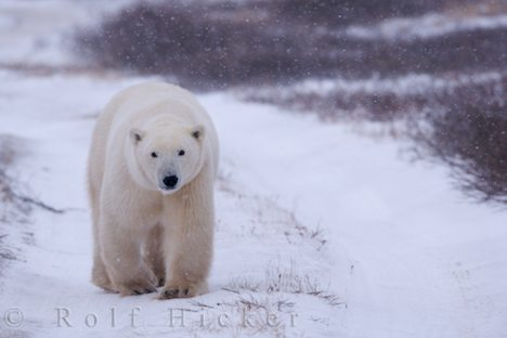 photo of Polar Bear Habitat Hudson Bay Manitoba