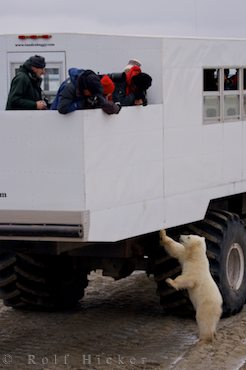 photo of Polar Bear Watching Tundra Buggy Churchill