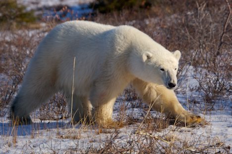 photo of Picture Of A Walking Polar Bear Churchill