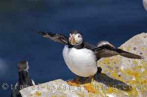 photo of Atlantic Puffins At Cape Bonavista