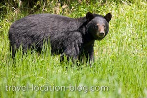 photo of Black Bear Encounter Near Red Lake Ontario Enroute To Manitoba