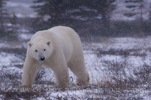 photo of One Last Drive In Search Of Polar Bears In Churchill Manitoba