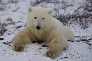 photo of Close Encounter With A Polar Bear In Churchill Manitoba Canada