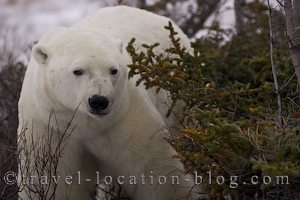 photo of A Lone Polar Bear Then A Family Trio Come Out Of Hiding