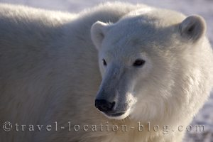 photo of A Determined Polar Bear In Search Of Food In Hudson Bay