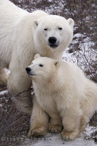 photo of a cute polar bear baby cub near churchill manitoba